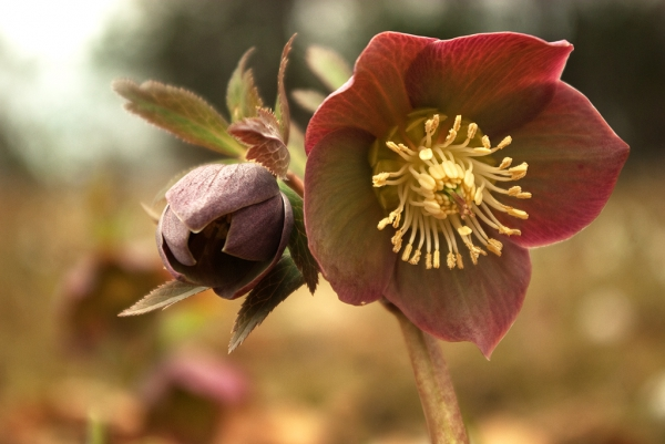 Flowers of rust